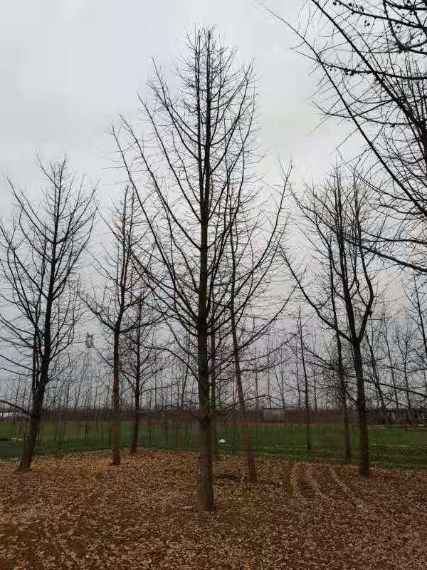 为什么说银杏树的价钱和树形漂亮程度有关