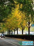 银杏树丰富多彩的类型和品种