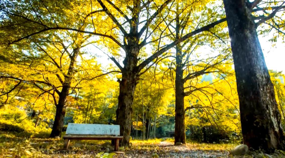 双牌百年古银杏树群