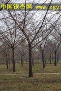 移植第一年的银杏树为何不结果子