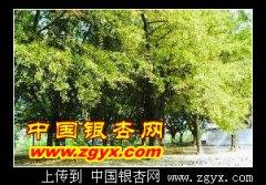江苏泰州泰兴市和浙江湖州长兴市的古银杏长廊