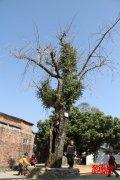 平和五寨有棵238岁老银杏树