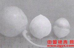 银杏果核用优良品种—大梅核